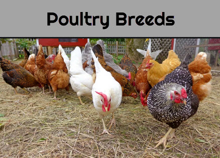 Poultry Breeds - Desi Chicken Breeds in India